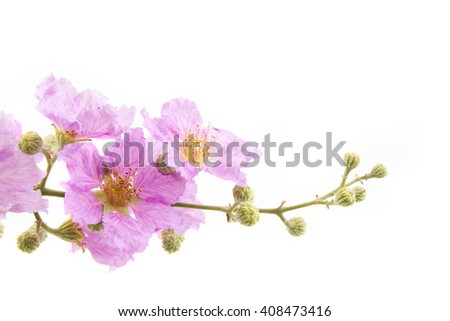 Flower background. Close up of Tropical flower Pink Lagerstroemia calyculata isolated white background. - stock photo