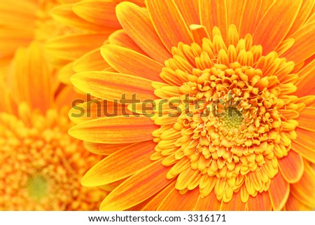 flower background - orange yellow gerber daisies macro