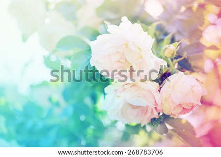 Flower background  with garden of beautiful roses/ toned picture - stock photo