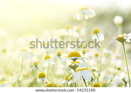 flower background with sun rays - stock photo