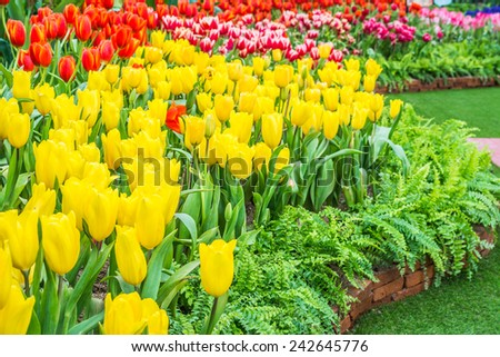Flower bed of multicolor tulips on day time. - stock photo