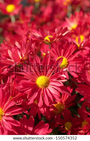 Flower bed of red chrysanthemums.