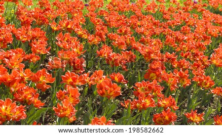 Flower bed with many red tulips, horizontal