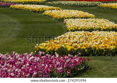 Flower beds of beautiful tulips. - stock photo