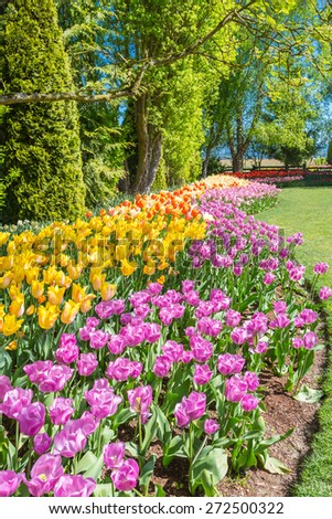 Flower beds of multicolored tulips in Washington - stock photo