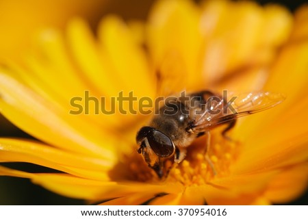 flower bee, bee on flower, bee pollen, summer bee, spring bee, honey bee, honeybee flower, bee macro, honeybee macro, bee nectar, fly bee, wild bee, pollination bee - stock photo