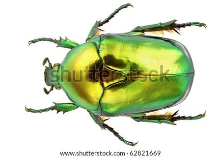 Flower beetle isolated on white background. - stock photo
