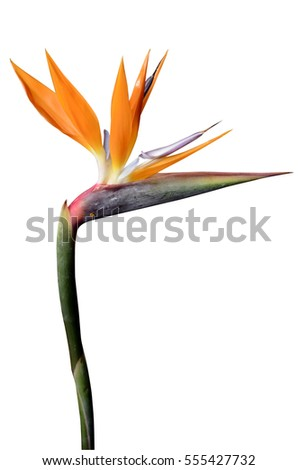 Flower bird paradise isolated on white stock photo royalty free flower bird of paradise isolated on white background by clipping path mightylinksfo