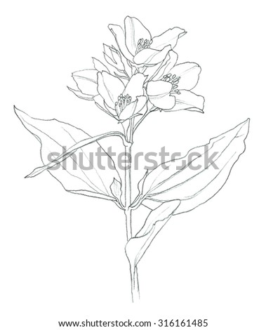Flower blooming jasmine tree pencil drawing