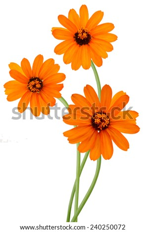 Flower branch: A orange zinnias over white background - stock photo