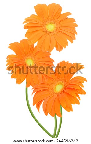 Flower branch: orange gerber isolated on white background  - stock photo