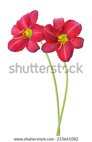 flower branch: Red daylily flowers isolated on white - stock photo