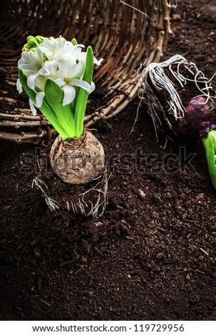 flower bulb on ground - stock photo