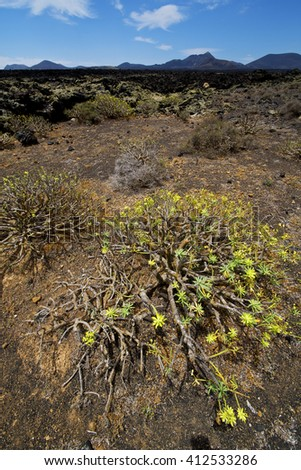flower  bush timanfaya  in los volcanes volcanic rock stone sky  hill and summer  lanzarote spain plant  - stock photo