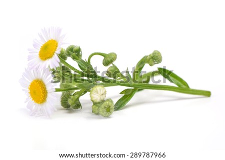 Flower camomile - stock photo