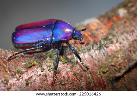 Flower chafers or flower scarabs (Cetoniinae) in terrarium - stock photo