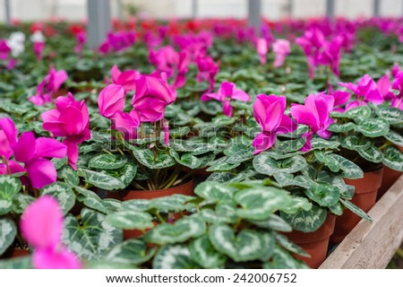 Flower culture in a greenhouse - stock photo