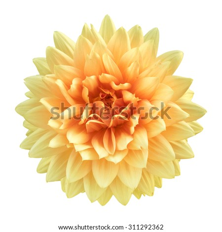 flower dahlia isolated on white background