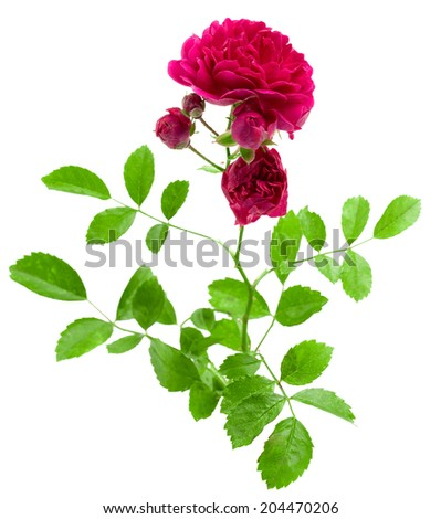 flower decorative garden roses isolated on white background shots in macro lens close-up - stock photo