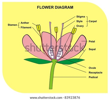 Flower diagram useful school student stock photo royalty free flower diagram useful for school and student ccuart Choice Image