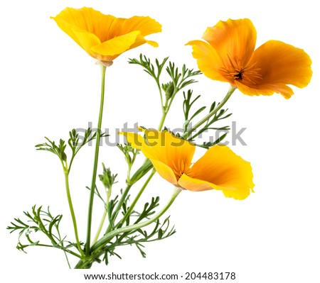 Flower eschscholzia californica california poppy golden stock photo flower eschscholzia californica california poppy golden poppy california sunlight cup of gold mightylinksfo