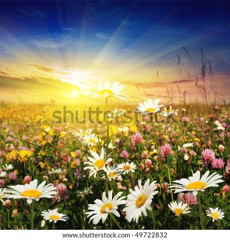 Flower field at sunset. - stock photo