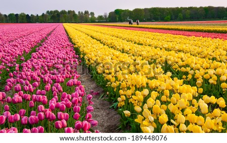 Flower field in Holland, pink and yellow tulips - stock photo