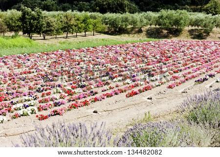 flower field, Provence, France - stock photo