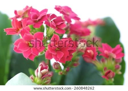 flower, flowers, flower pot, flower bouquet, flower garden, pink, bud, burgeon, blossom, floret, floweret, bloom,  - stock photo