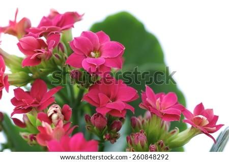 flower, flowers, flower pot, flower bouquet, flower garden, pink, bud, burgeon, blossom, floret, floweret, bloom, extraordinary flowers, - stock photo