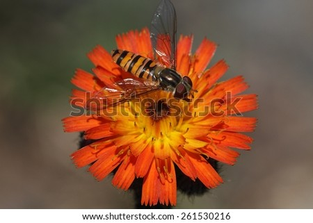 Flower fly (Hoverfly,Syrphidae) drinking from flower - stock photo
