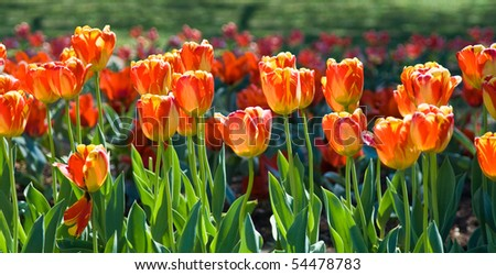 Flower garden full of tulips - stock photo