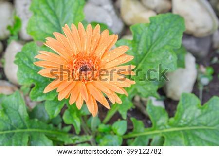 flower Gerbera of the Gerbera genus. Orange with water drops in the garden, Barberton daisy, Gerbera jamesonii, Daisy fromSouth Africa. (select focus Gerbera, and Blur blurred background - stock photo