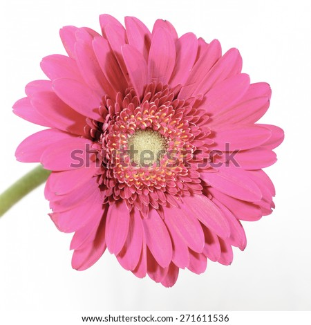 flower gerbera pink on white background