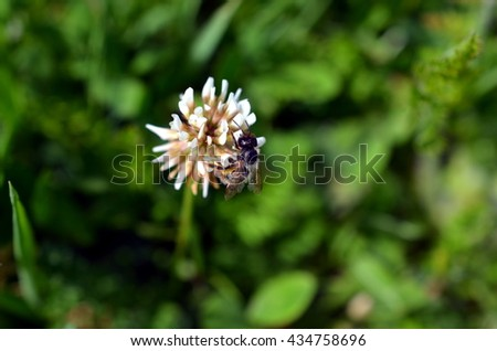 flower gets pollinated by a bumblebee - stock photo