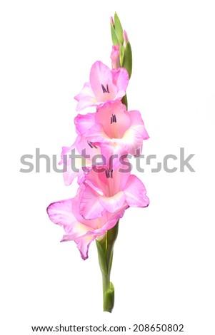 Flower gladiolus  - stock photo