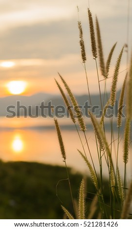 flower grass at sunset,Sun on the river dam