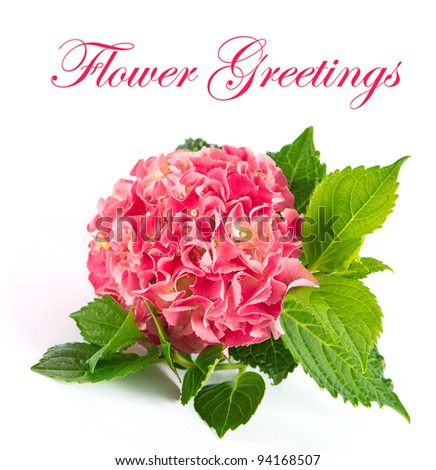 Flower Greetings. card design. pink hortensia flower with green leaves. fresh hydrangea blossom on white background - stock photo