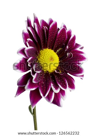 Flower head of a violet daisy - stock photo