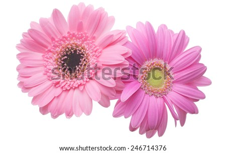 Flower head of the transvaal daisy