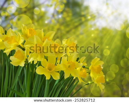 Flower holiday background with bouquet of yellow daffodils in the spring sunshine - stock photo