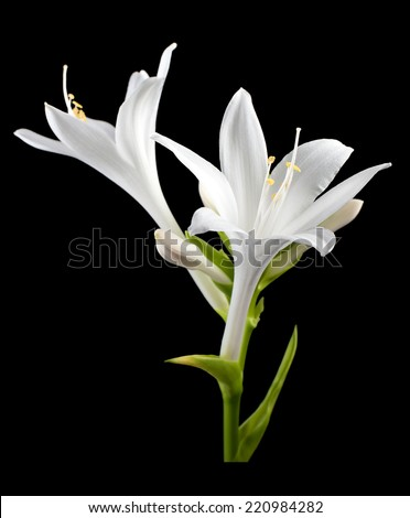 flower hosta isolated. - stock photo