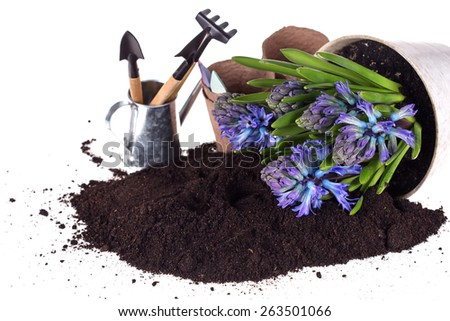 Flower  hyacinths in pot, ground  and garden tools isolated on white  background.