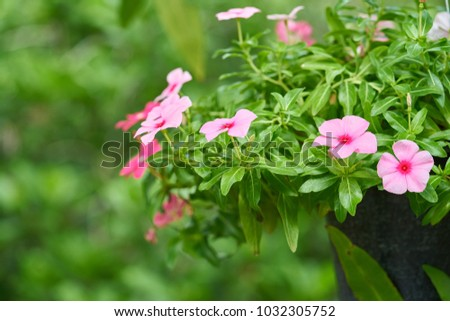 flower in garden with blur green background, Beautiful pink flowers and green plants in the park, Colorful blooming flower