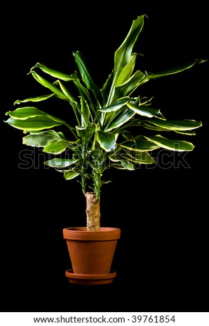 Flower in pot on a black background, Dracaena - stock photo