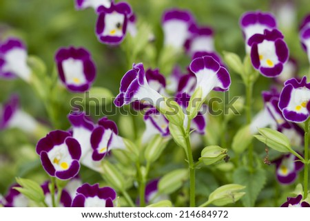 Flower in the garden (Wishbone flower, Bluewings, Toreni) - stock photo