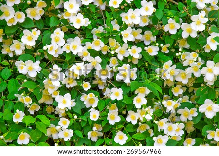 Flower jasmine with green leaves background - stock photo