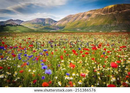 Flower landscape in Castelluccio di Norcia, Piana Grande, Italy. Flowering and blooming - stock photo