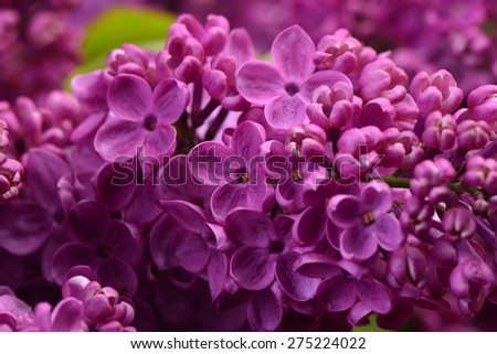 Flower lilac  - stock photo