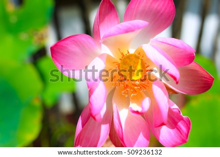 Flower lotus beautiful,  background lotus flower, the lotus closeup, isolated white background color pink yellow red green.